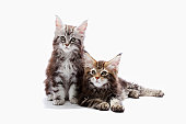 Two kittens of Maine coon cat