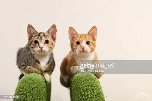 Two kittens on the top of green chairs.