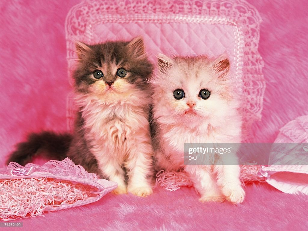 Two Kittens Sitting on a Pink Fluffy Carpet, Surrounded by Other Pink Objects, Looking Sideways, Front View : Stock Photo