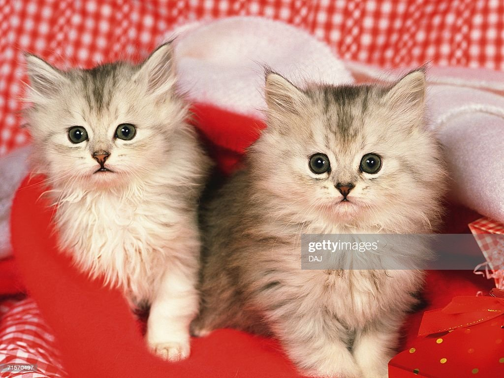Two Kittens Surrounded By Red Objects, Looking at Camera, Front View : Stock Photo