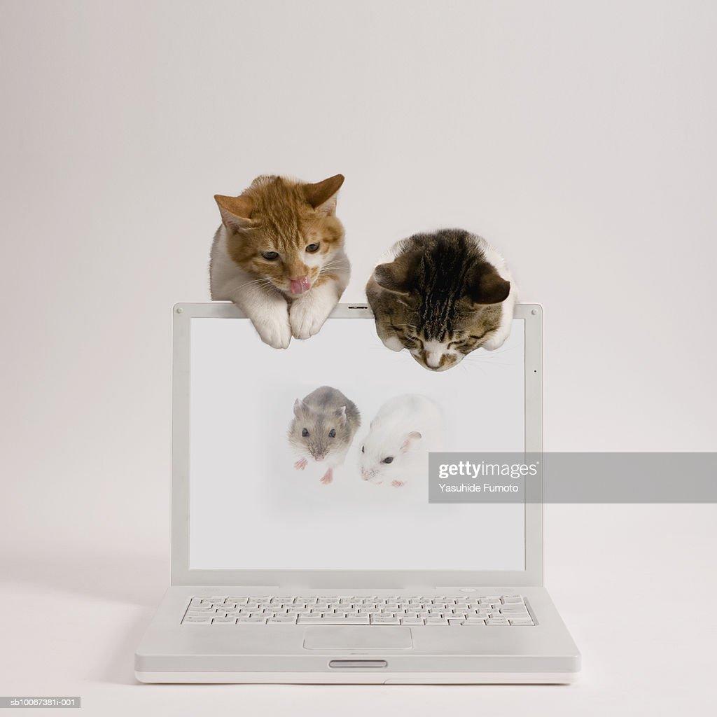 Two kittens watching two mice on laptop screen, studio shot : Stock Photo