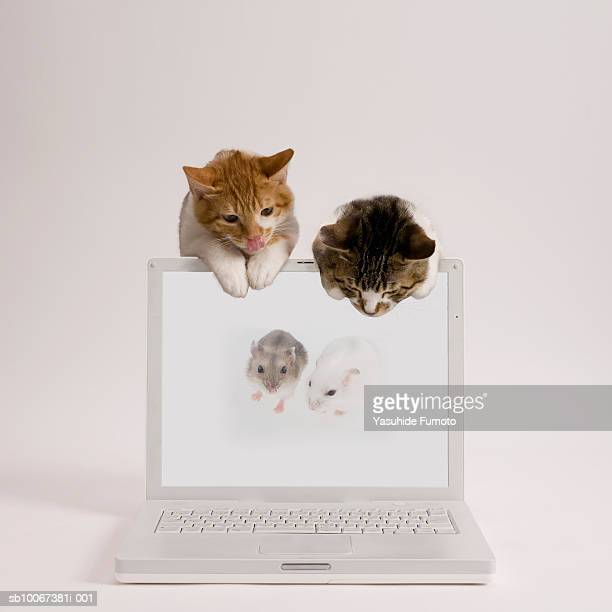 Two kittens watching two mice on laptop screen, studio shot