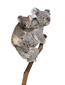 Koala bears climbing tree, 4 years old and 9 months old, Phascolarctos cinereus, in front of white background.