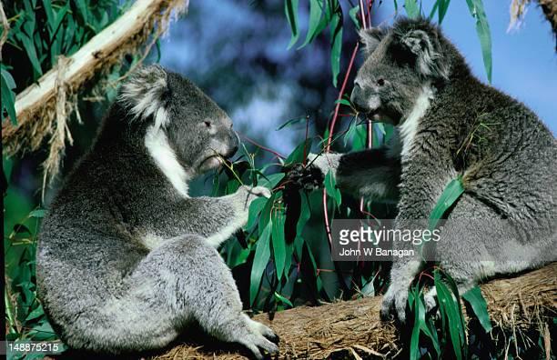 Two koalas in Healesville Sanctuary.