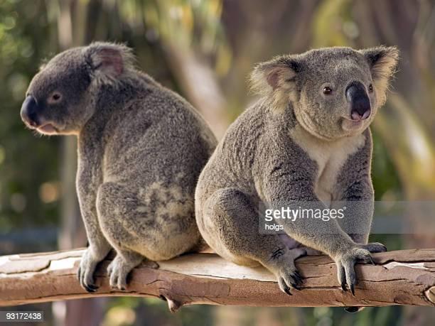 Two Koalas