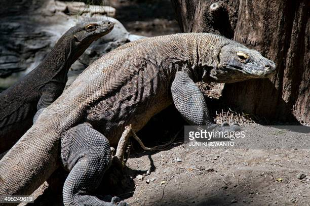 Two Komodo dragons are pictured in an enclosure at the Surabaya Zoo on June 2 2014 A different Komodo dragon died on June 2 at the Indonesian zoo...