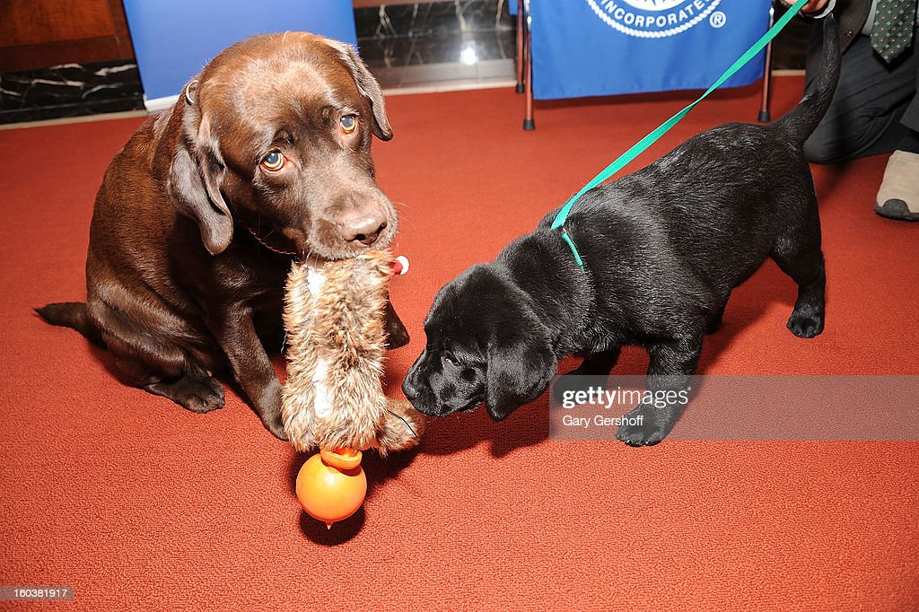 Two Labrador Retrievers, Shayna (L) and Ace pose for pictures as the American Kennel Club Announces Most Popular Dogs in the U.S. on January 30, 2013 in New York City.