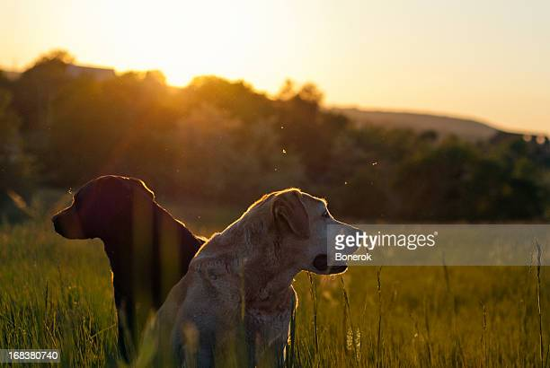 Two Labradors in an open field with shining sun