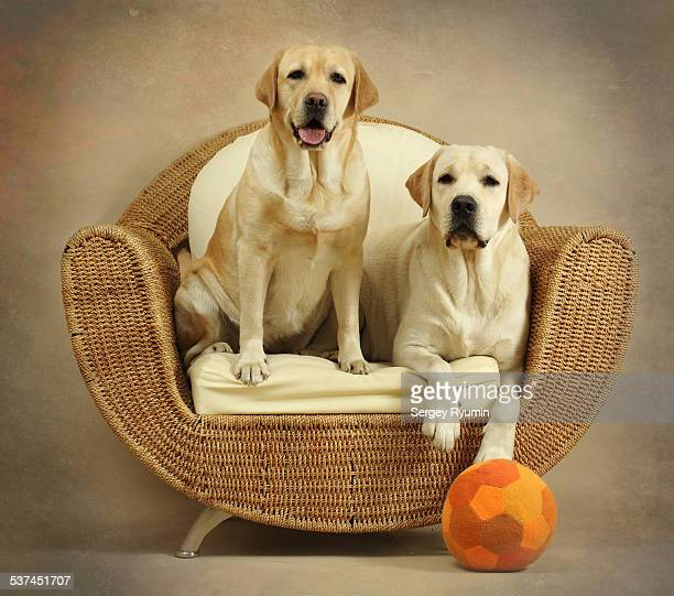 Two Labradors in the chair.