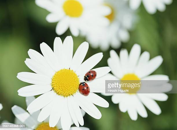 Two ladybird beetles resting on Oxeye daisy, close-up
