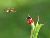 Two ladybirds