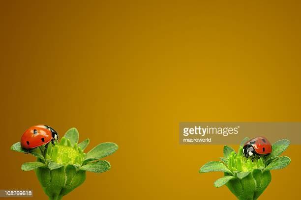 Dois Ladybugs de Flores