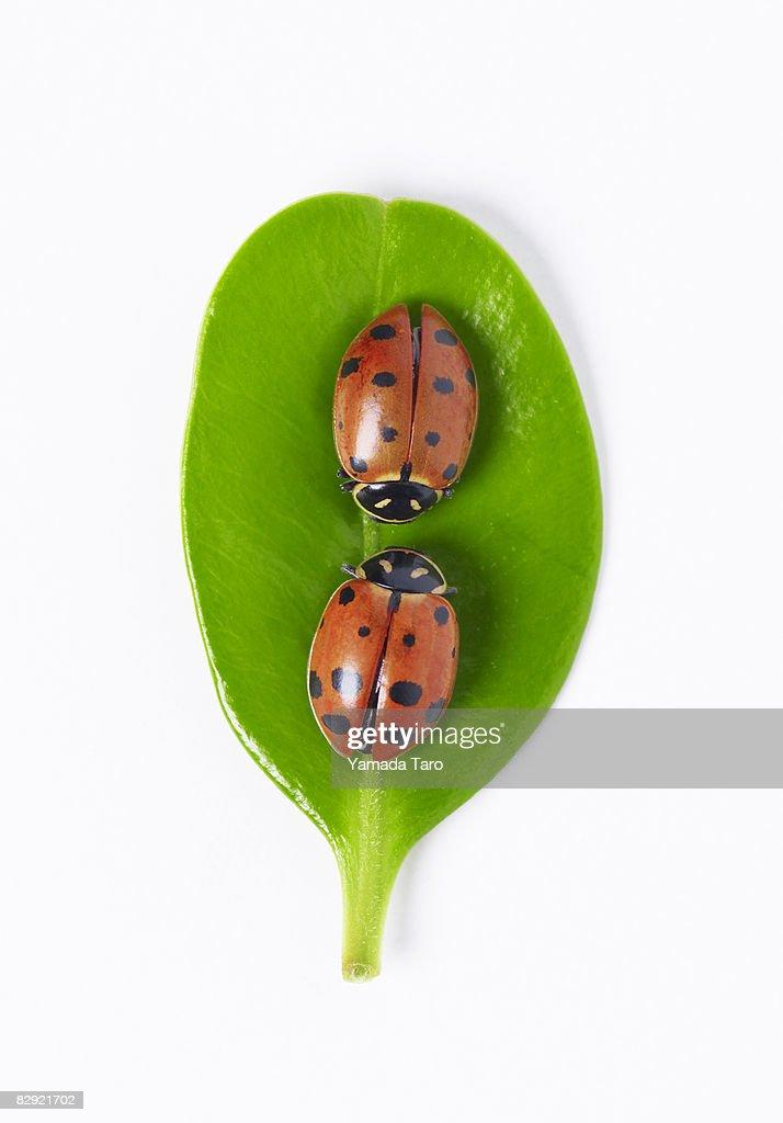 Two ladybugs on round leaf : Stock Photo