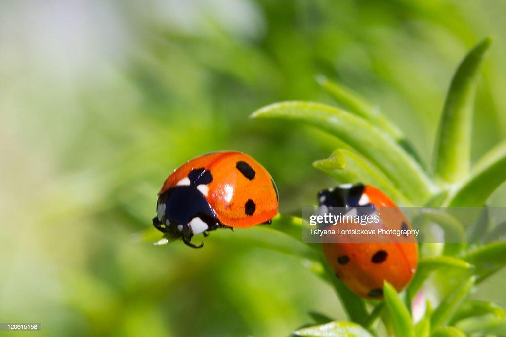 Two ladybugs : Stock Photo