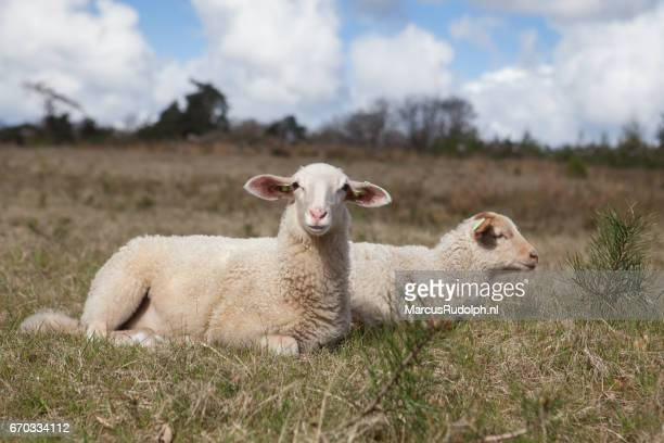 Two lamb resting in the grass