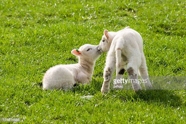 Two lambs in spring sunshine