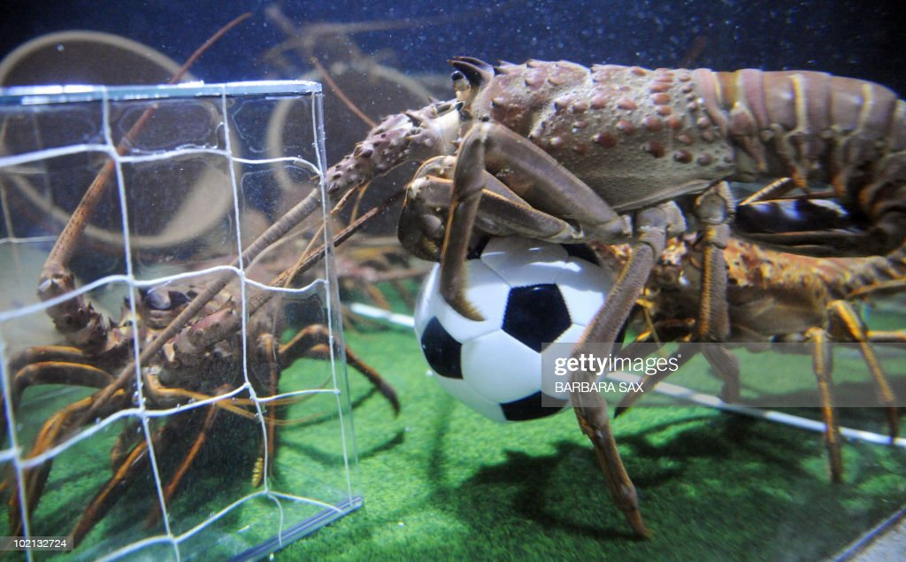 Two langoustines fight for a football in their basin decorated like a soccer pitch on June 16, 2010 at the Sea Life aquarium in Berlin. During the FIFA Football World Cup which is taking place until July 11, 2010 in South Africa, the langoustines get every afternoon a small football filled with sardines in their aquarium.