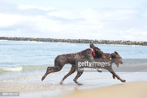 Two large dogs running free on beach