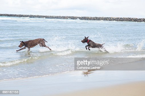 two large dogs running in the ocean