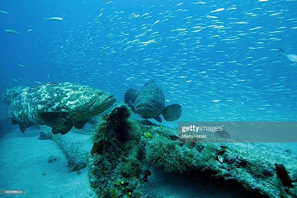 Two large Goliath grouper hover near a piece of wreckage at one of the artificial reefs off Jupiter, Florida, during the species' summer spawning season.