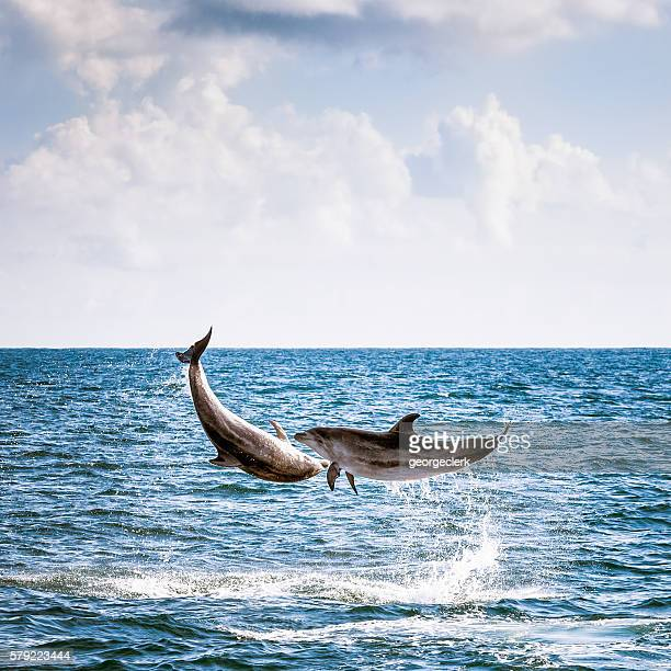 Two Leaping Wild Dolphins