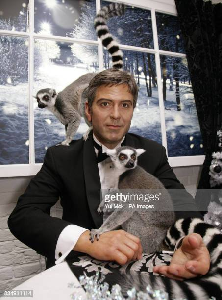 Two Lemurs of the kind featured in the animated film Madagascar 2 visit the celebrity waxworks including George Clooney at Madame Tussauds in central...