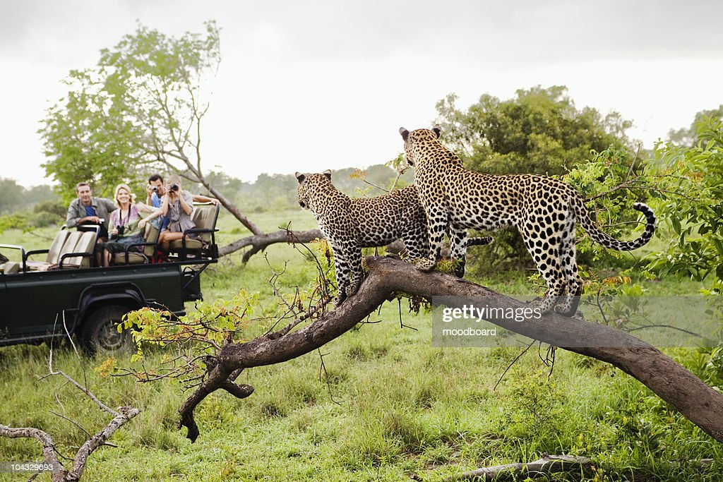 Two leopards on tree watching tourists in jeep, back view