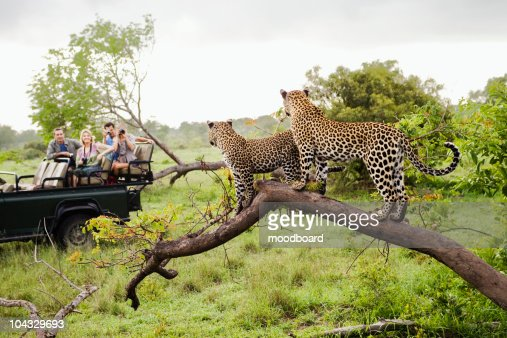 Two leopards on tree watching tourists in jeep, back view : Foto stock