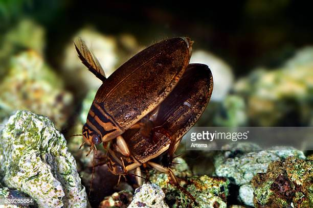 Two Lesser diving beetles / Grooved diving beetle mating underwater in pond