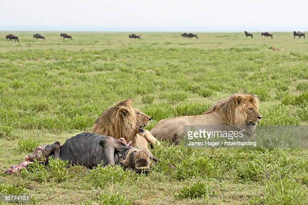 Two lion (Panthera leo) at a blue wildebeest kill, Serengeti National Park, Tanzania, East Africa, Africa
