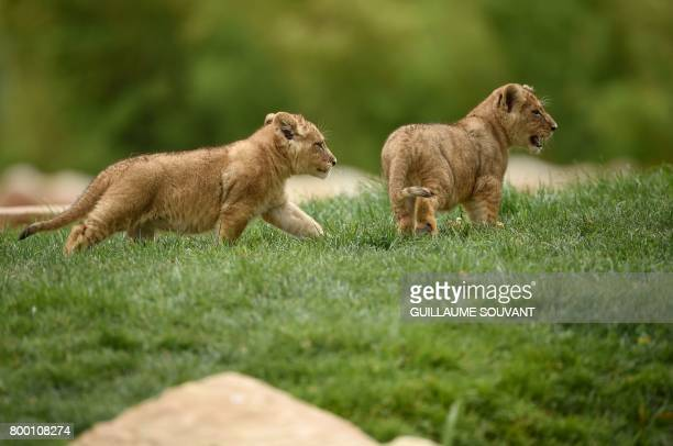 Two lion cub born on April 15 2017 are pictured inside the new enclosure 'La Terre des Lions' on June 23 2017 at the Zooparc of Beauval / AFP PHOTO /...