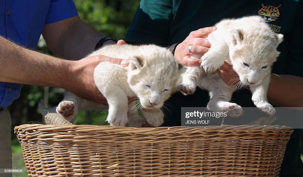 Two lion cubs are presented to the press on May 6, 2016 at the zoo in Magdeburg, eastern Germany. The cubs were born on April 26, 2016. / AFP / dpa / Jens Wolf / Germany OUT
