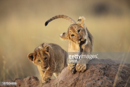 Two lion cubs playing on a dirt mound in the savanna grass