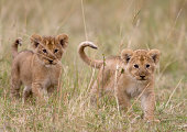 Two lion (Panthera leo) cubs walking through tall grass