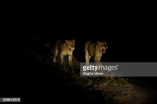 Two Lionesses -Panthera leo-, adult, at night, South Africa