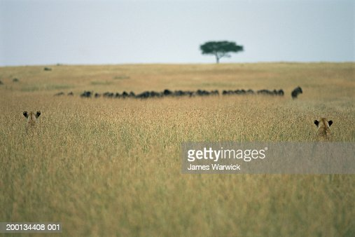 Two lionesses stalking wildebeest, hiding in long grass, rear view : Stock Photo