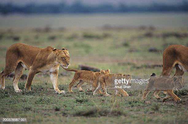 Two lionesses (Panthera leo) with four cubs walking on savannah, Kenya