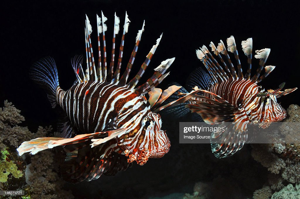 Two Lionfish in the Red Sea, Egypt : Foto de stock