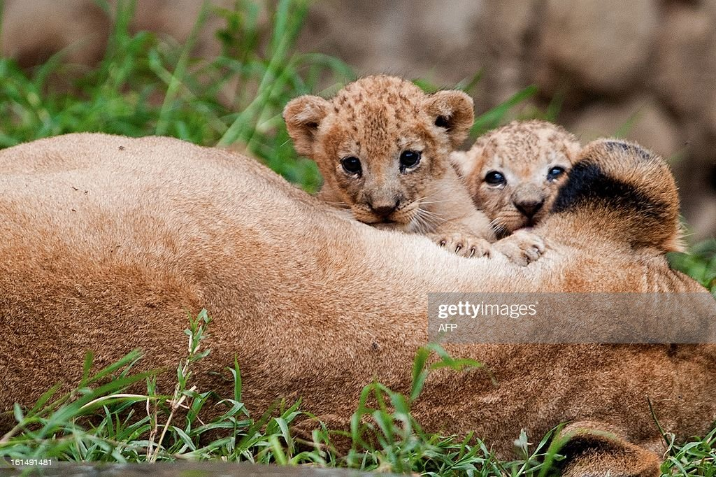 Two lions born in captivity twenty days ago, play with their mother at the zoo in Cali, Valle del Cauca department, Colombia, on February 11, 2013.