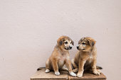 Two litted cute twin  brown puppies are sitting and looking at each other