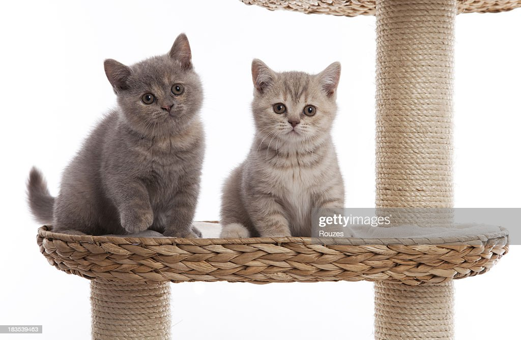 Two little british shorthair kittens