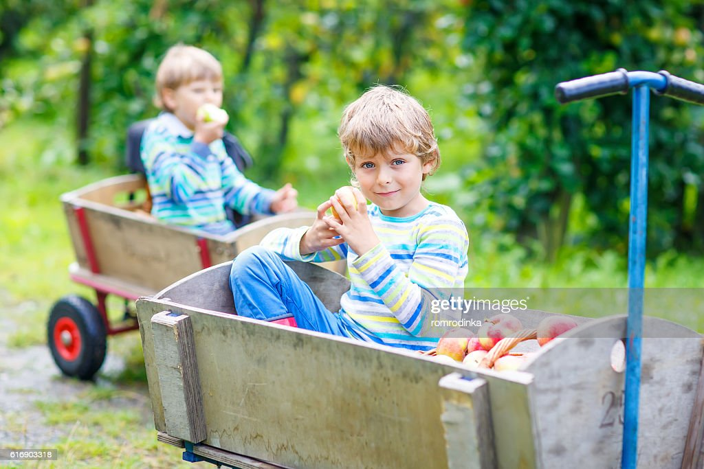 Two little kids boys picking red apples on farm autumn : Stock Photo