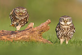 Two little owls standing