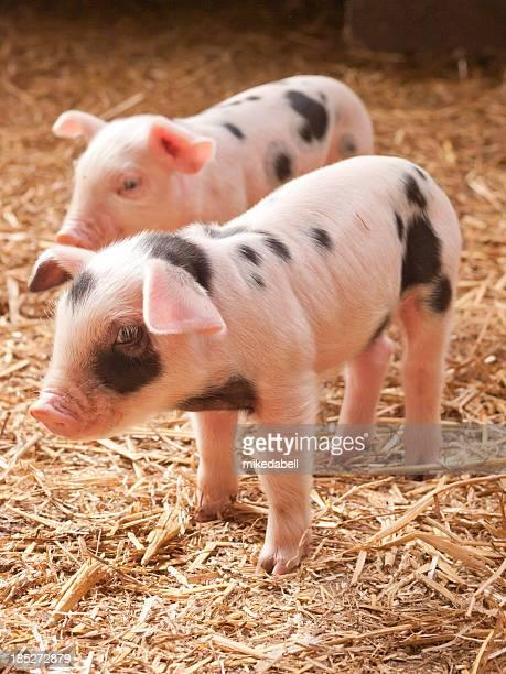 Zwei kleine Schweinen