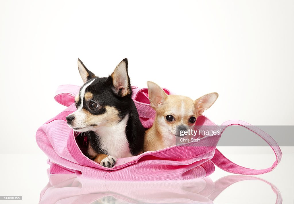 Two little puppies sitting in a bag : Stock Photo