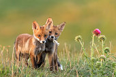 Two Little Red Fox near his hole.
