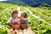 Two little sibling kids boys having fun on strawberry farm in summer. Children, cute twins eating healthy organic food, fresh berries as snack. Kids helping with harvest.