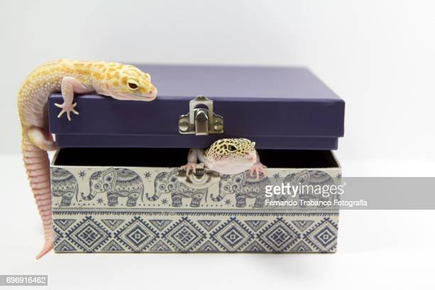 Two lizards inside and above a gift box
