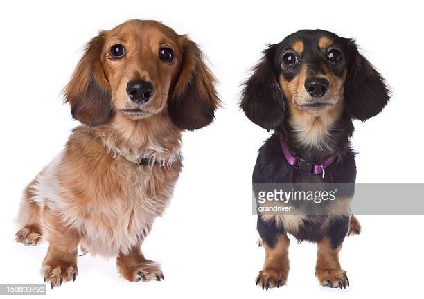 Two Long Hair Dachshund Puppies