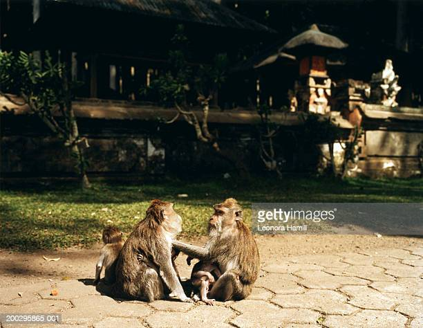 Two long tailed Balinese Macaque and babies (Macaca fascicularis)